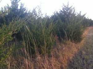tall grass & cedars photo